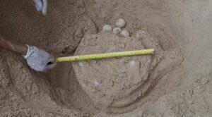 แม่เต่าทะเลขึ้นวางไข่ที่ชายหาด บนเกาะสมุย